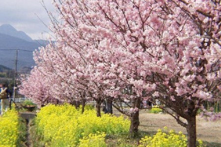 Take a slow walk through Odawara city, to a cherry blossoms festival coloring the spring of Minami-ashigara