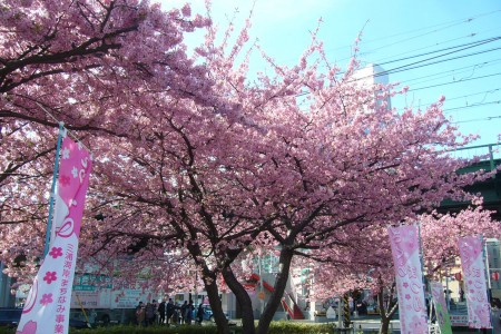 Enjoy early spring flowers with Kawazu cherry blossoms and a feast of plum with over 4000 plum blossoms.