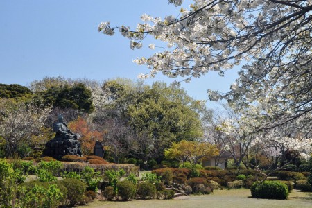 Visit renowned cherry viewing locations in Kamakura