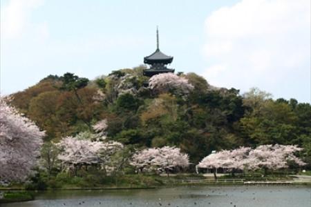 요코하마 벚꽃 드라이브