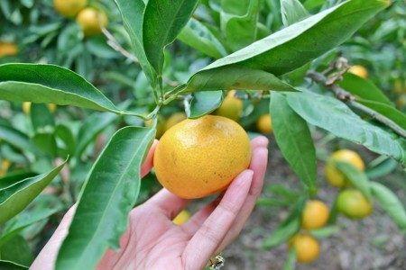 Mandarin Orange Picking in Miura Beach (Car Rental Plan)