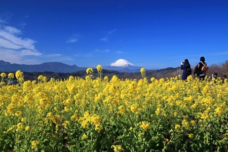 Azumayama Park and viewing the early mustard blooms