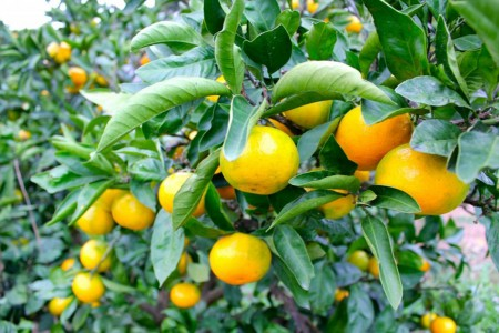 Hái quýt và chuyến thăm Trung tâm nông trại trái cây ở Isehara, làng trái cây
