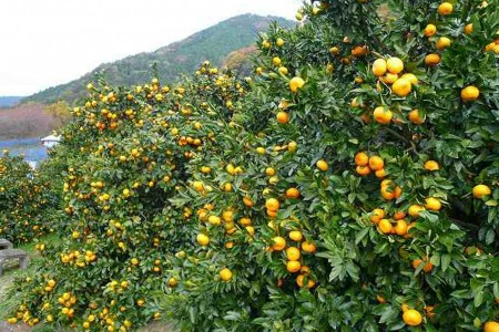 Stroll around the woods and enjoy Picking experience of locally-grown Japanese oranges in Matsuda