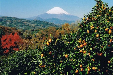 Dragnet Fishing and Mandarin Orange Picking Experience in Ninomiya