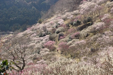 Enjoy Japanese plum and camellia flowers in full bloom