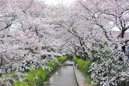 Stroll amidst the cherry blossom-lined banks of the Nikaryoyosui whilst listening to the streams