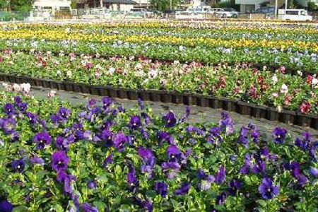 Blooming Pansies and Temple Hopping in Musashi-Nakahara