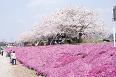 Visit the longest line of flowers at Shibazakura, and the former crossing of the Sagamigawa River