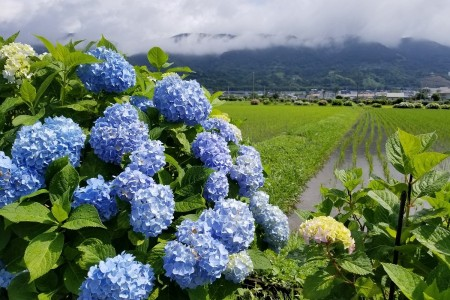 View the hydrangea flowers on Sakawagawa river~Kaisei machi Hydrangea festival~
