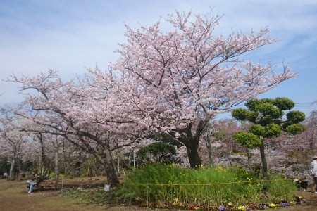 Visit renowned cherry viewing locations in Yokosuka