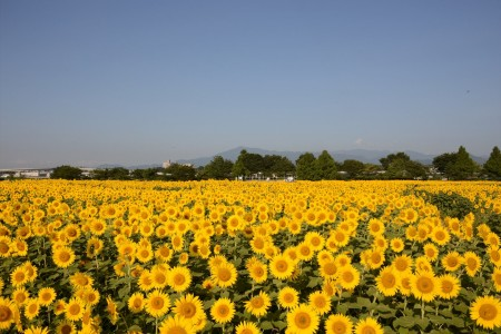 View a vast expanse of golden sunflowers and experience the countryside