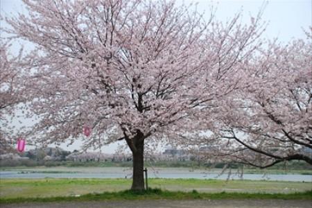 """일본의 유명한 가수 """"Ikimonogakari""""와 관련된 사케와 고품격 음식이 있는 벚꽃 명소."""