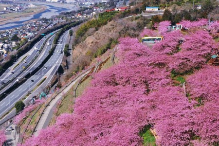 View both cherry and plum blossoms at once!Kawazu zakura in Matsudamachi and Soga-bessho plum tree forest