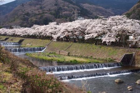하코네 굴지의 벚꽃과을 즐기고 탄력있는 토로로소바를 드셔보세요!