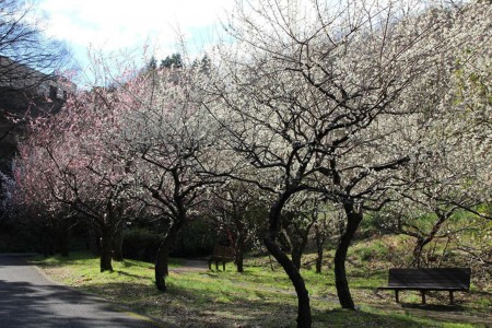 Plum Blossoms Viewing in Early Spring