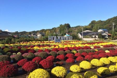 Belgischer Chrysanthemen Garten Tsuchiya und Interaktion mit Einheimischen