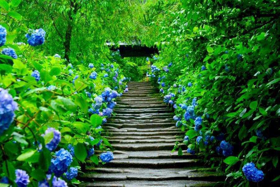 镰仓寺庙的炎夏之花
