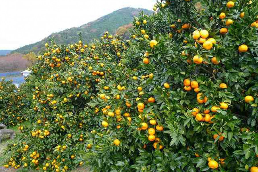 Outdoor Adventure: Farming, Orange Picking in Matsuda, and More!