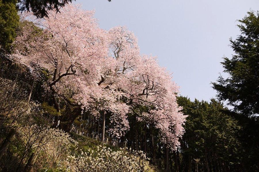 오야마 아후리 신사의 오래된 꽃