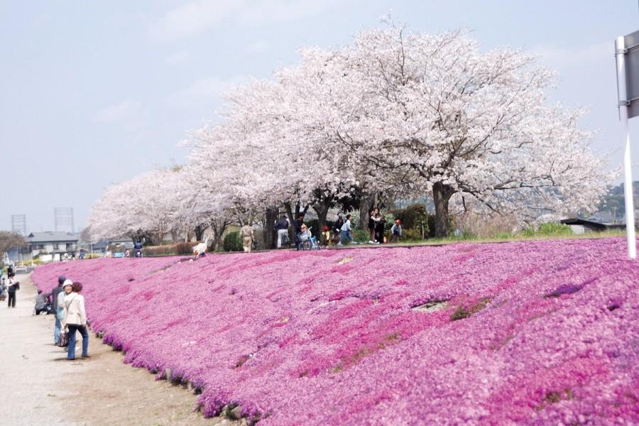 사가미 강을 따라 시바자쿠라의 분홍빛을 따라가보세요