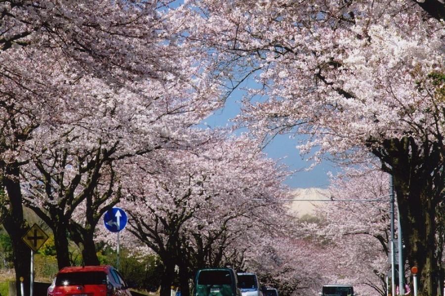 Visitez les points d'observation de cerisiers en fleur les plus célèbres de Hadano