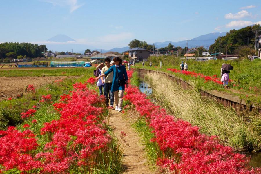 ความงามท่ามกลางฤดูใบไม้ร่วง: ดอกแมงมุมริมแม่น้ำโคอิเดะและศาลเจ้าซามุคาวะ