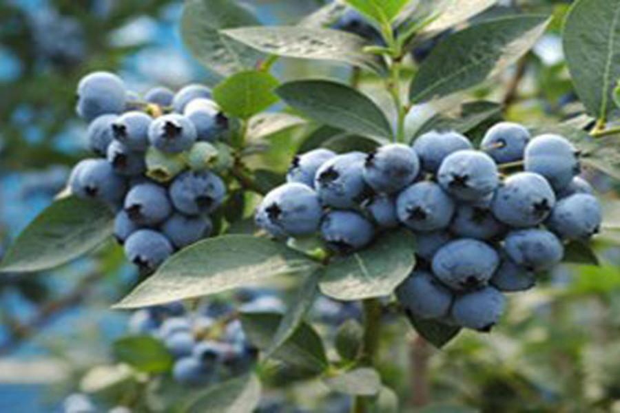 Blaubeer-Pflücken und Samukawa Schrein