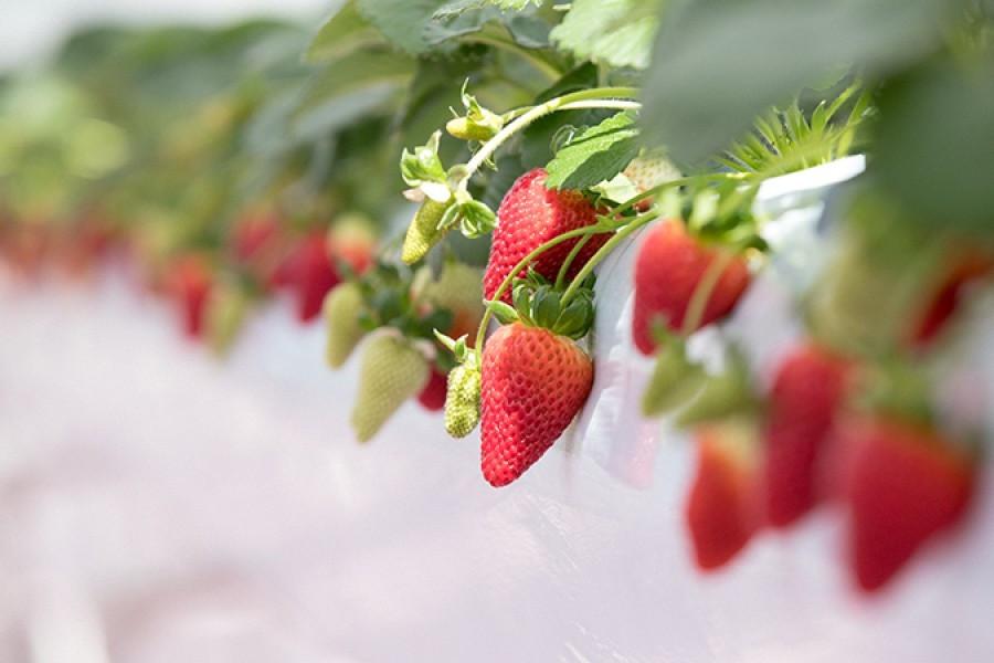 Explorez les saveurs de Yokohama et faites la visite d'une brasserie et la cueillette des fraises