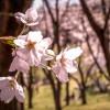 Hoa anh đào ở Kanagawa
