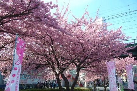 三浦海岸樱花节