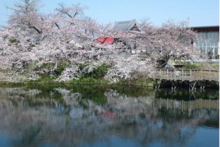 今泉名水桜公園(お花見)
