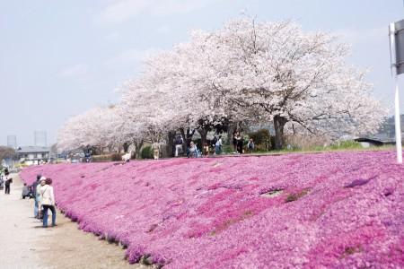 ชมแนวดอกไม้ที่ยาวที่สุดที่ชิบะซากุระ และทางข้ามเก่าของแม่น้ำสะกะมิกะวะ