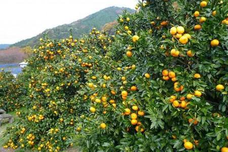 การเก็บส้มแมนดาริน: สวนไนโตะ และสวนอะงิ