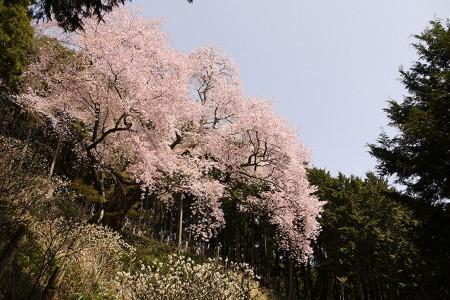 大山桜(お花見)