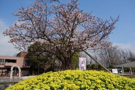 다마나와 벚꽃