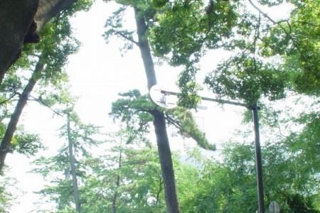 Những cây thông dọc tuyến đường Tokaido trước đây (Oiso)