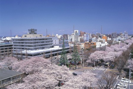 Sagamihara City Hall Sakura Street (cherry blossoms)