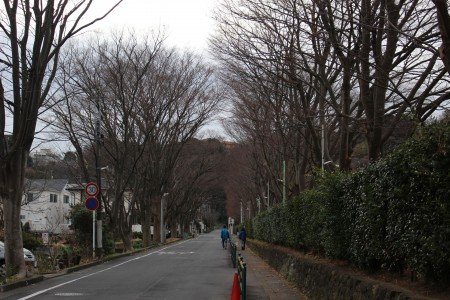 Toray Zelkova trees