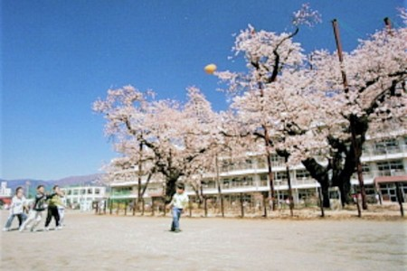 Cherry Blossoms at Hadano City South Elementary School