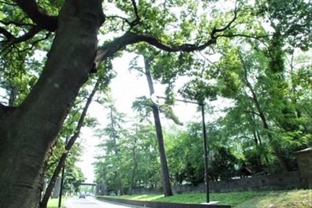 旧東海道松並木(大磯)