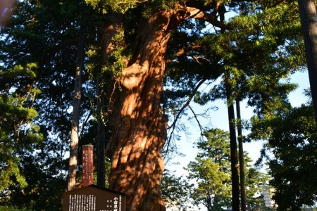 Burg Odawara Ruinen Park, Riesenkiefer