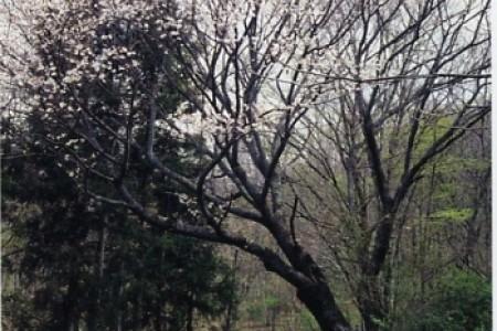 Yoritomo Sakura