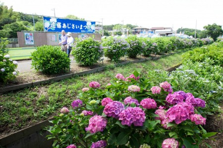 远藤紫阳花祭
