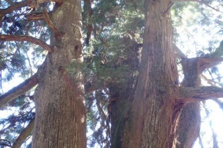 Meoto-sugi (cây tuyết tùng đôi)