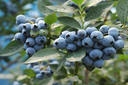 Blueberry-no-sato , Miyahara Tourist Farm