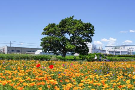 イシックス馬入公園(お花畑)