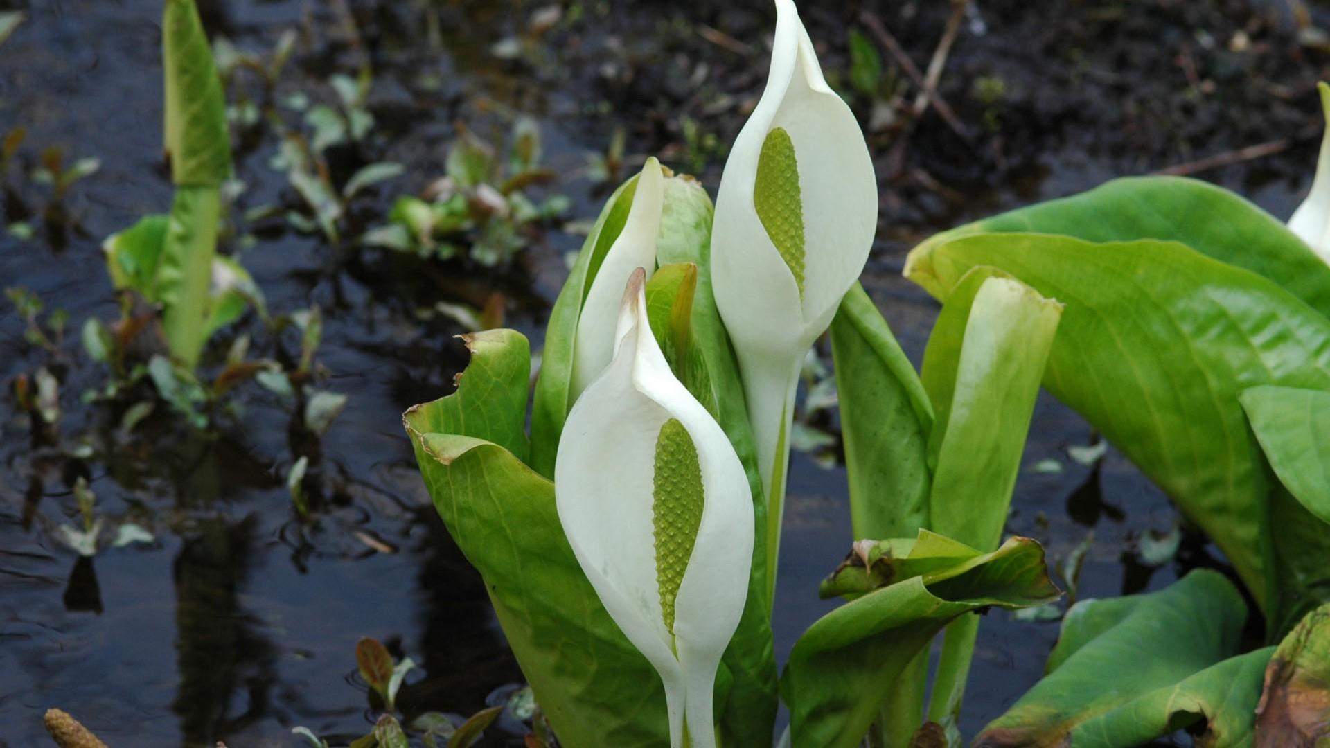 Jardin botanique de Hakone spécialisé dans les plantes des zones humides