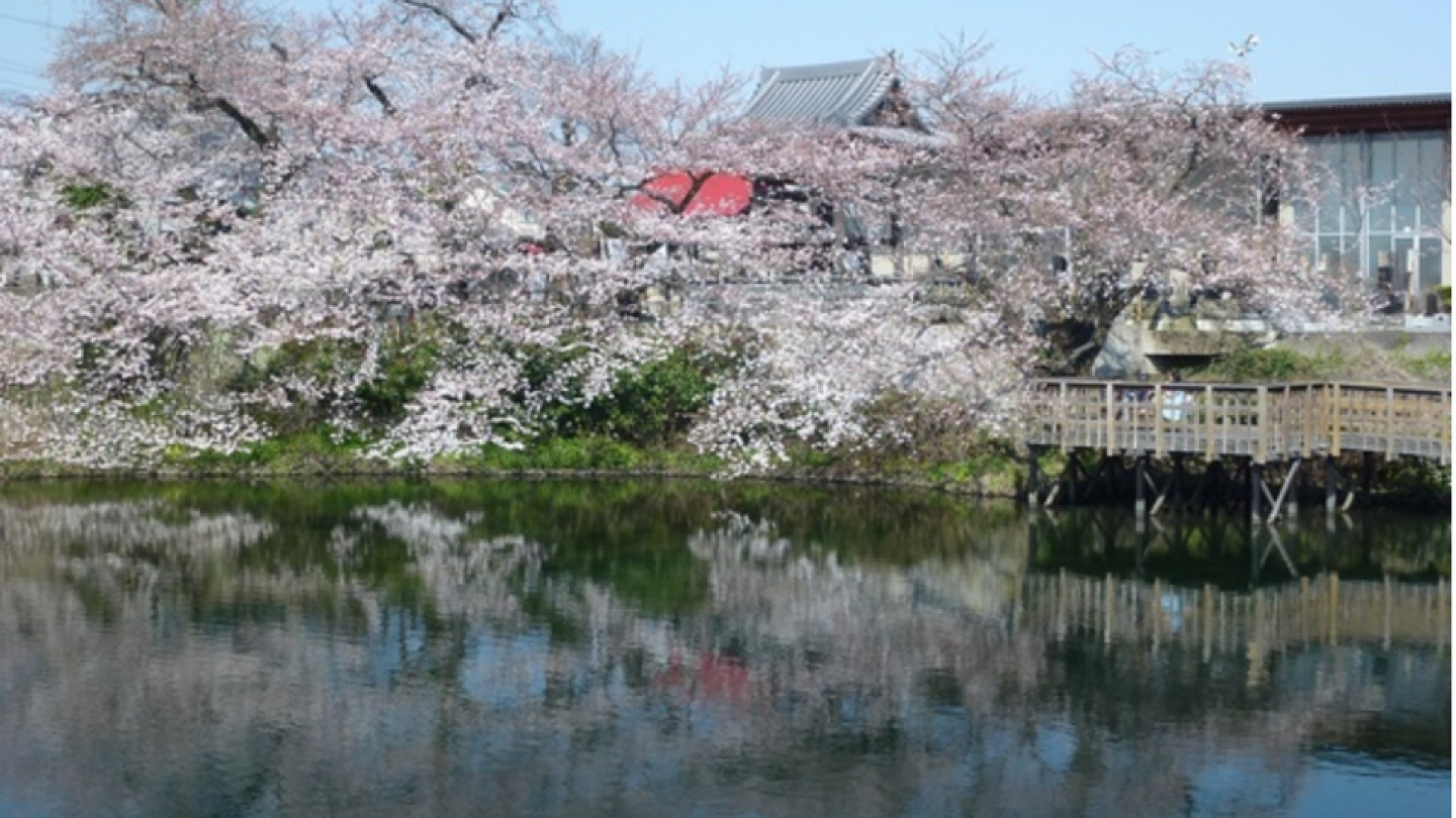 Le parc de Imaizumi Meisui Sakura (cerisiers en fleurs)