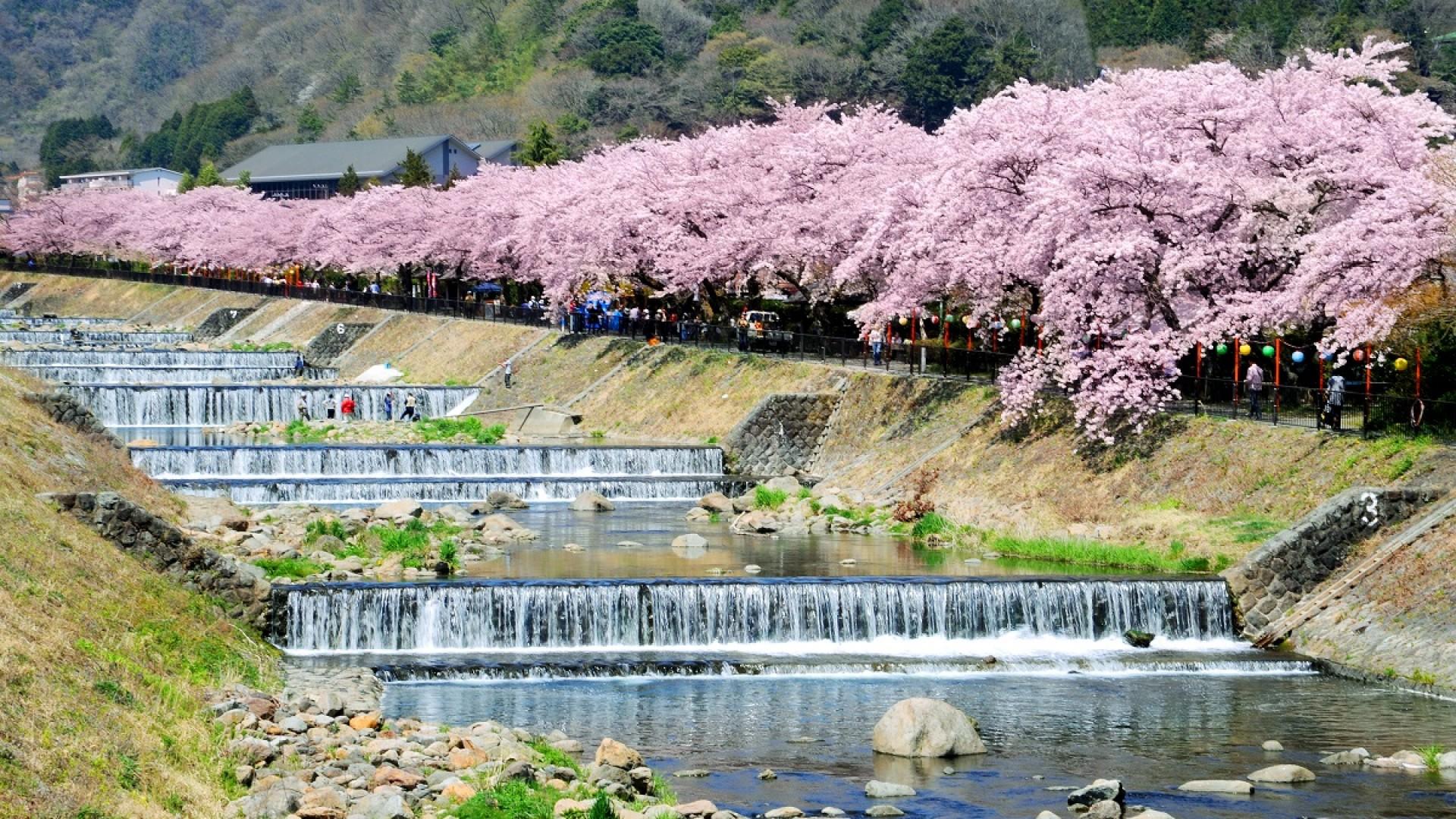 箱根の桜(お花見)